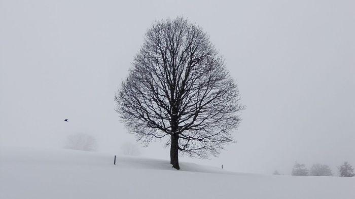 Bergahorn, allein auf weiter Flur [in der Nähe des Kraftortes Heiligkreuz] - A solitary Great (or Sycamore) Maple tree [near Heiligkreuz, a place of strength].