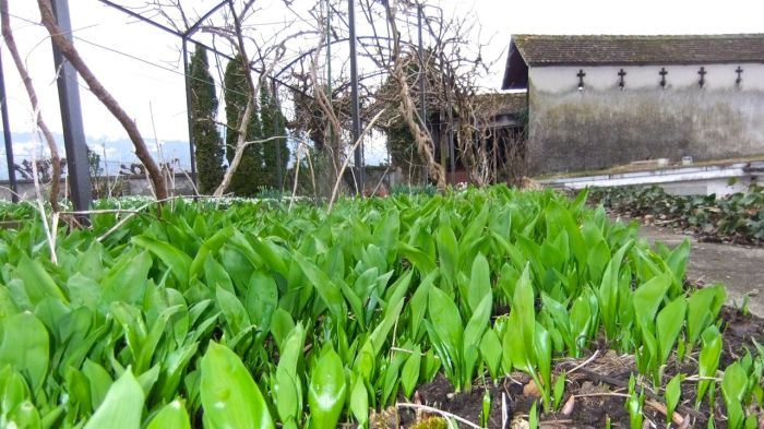 Allium ursinum (Bärlauch; Wild Garlic) in the monastery garden at Rapperswil. This unassuming green is a welcomed addition to the early spring diet, providing a source of enjoyment and well-being for those who set out to harvest it.